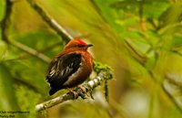 Club-winged Manakin - Machaeropterus deliciosus