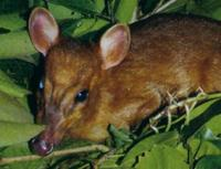 Leaf Muntjac or Leaf Deer