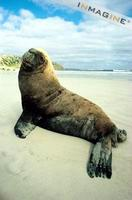 Australian Sea Lion (Neophoca cinerea) photo