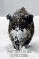 wild boar in a winter forest at snowfall ( Sus scrofa ) stock photo