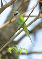 25. 붉은가슴앵무 (緋胸 鸚鵡) Psittacula alexandri Red-breasted Parakeet