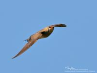 Oriental Pratincole (in breeding plumage)