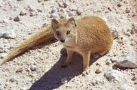 yellow mongoose photograph
