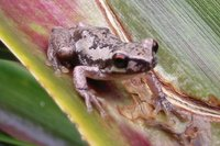 : Litoria dentata; Bleating Tree Frog