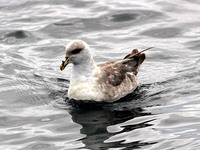 Northern Fulmar. 14 October 2006. Photo by Tim Shelmerdine