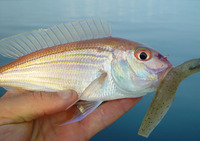 Nemipterus theodorei, Theodore's threadfin bream: fisheries