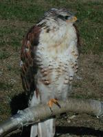 Image of: Buteo regalis (ferruginous hawk)
