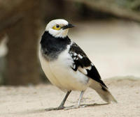 Image of: Sturnus nigricollis (black-collared starling)