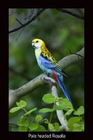 Pale-headed Rosella