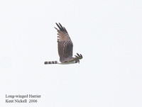 Long-winged Harrier - Circus buffoni