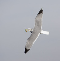 California Gull (Larus californicus) photo