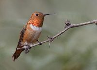 Rufous Hummingbird (Selasphorus rufus) photo