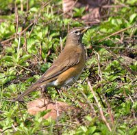 Eyebrowed Thrush - Turdus obscurus