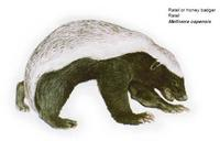 Ratel (Honey badger)