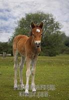 New Forest Pony Foal , Stoney Cross , Hampshire , England stock photo