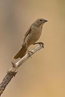 Brown Headed Cowbird ( Molothrus ater ) Female , Gila National Forest , New Mexico stock photo