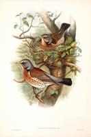 Richter after Gould Fieldfare (Turdus pilaris)