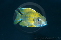 : Aulonocara baenschi; Electric Yellow Peacock