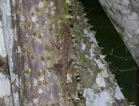: Anolis trachyderma; Common Forest Anole