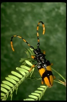 : Dendrobias mandibularis; Horse-bean Long-horned Beetle