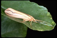 : Hesperophylax designatus; Silver Striped Caddis Fly