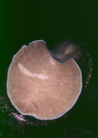 : Haliotis rufescens; Red Abalone