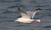 Adult winter Vega Gull Larus vegae