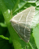 Hylaea fasciaria - Barred Red