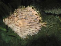 Chaetodermis penicilligerus, Prickly leatherjacket: