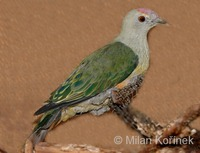 Ptilinopus regina - Rose-crowned Fruit-Dove