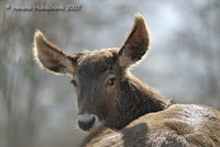 Cervus albirostris - White-lipped Deer