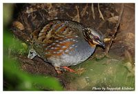 Rufous-throated Partridge - Arborophila rufogularis