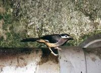White-eared Sibia - Heterophasia auricularis