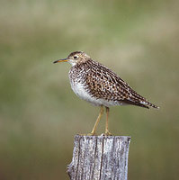 Upland Sandpiper (Bartramia longicauda) photo