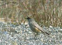 Cinnamon-bellied Ground-Tyrant (Muscisaxicola capistrata) photo