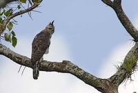 Ornate Hawk-Eagle (Spizaetus ornatus) photo