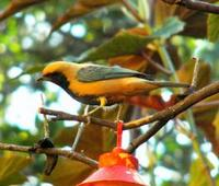 * Rufous Crowned Tanager