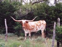 A spotted Texas longhorn near Hamilton, Texas