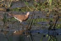 Red Turtle Dove, female 紅鳩