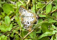 : Anartia jatrophae; White Peacock Butterfly