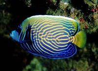Pomacanthus imperator, Emperor angelfish: fisheries, aquarium