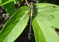 Ophiogomphus cecilia - Green Club-tailed Dragonfly