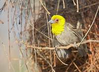 Sakalava Weaver (Ploceus sakalava) photo