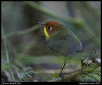 Chestnut-headed Tesia - Tesia castaneocoronata