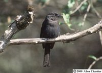 Northern Black-Flycatcher - Melaenornis edolioides