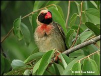 Red-billed Quelea - Quelea quelea