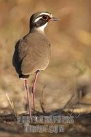 Bronze winged ( Violet tipped ) Courser stock photo