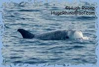 Risso's Dolphin photo by Hugh Ryono, HugeRhino@aol.com