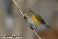 Fig. 4. Red-flanked Bluetail : 유리딱새