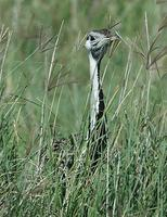 Black-bellied Bustard p.116
